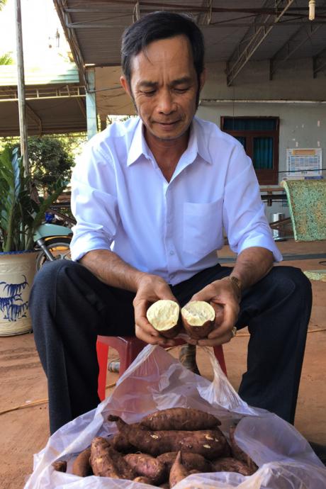 Ông Nguyễn Trình bên những củ khoai Lệ Cần của gia đình trồng.