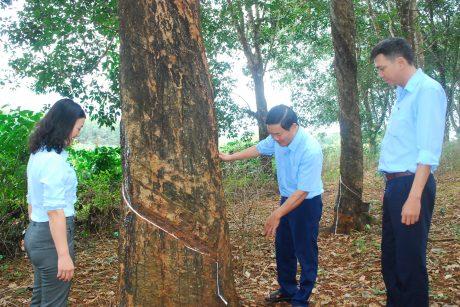 Một cây cao su cổ thụ trong vườn truyền thống của Đội 10 – NT Thống Nhất