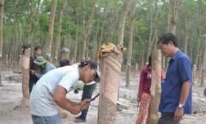 Cán bộ kỹ thuật Công ty CPCS Bà Rịa - Kampong Thom hướng dẫn kỹ thuật khai thác cho công nhân. Ảnh: N.K