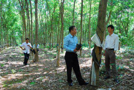 Ông Lê Thanh Tú  - Phó TGĐ VRG kiểm tra vườn cây khai thác Cao su Sa Thầy vào năm 2019. Ảnh: Văn Vĩnh