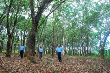 Cán bộ công ty Chư Prông và NT Thống Nhất thăm vườn cây truyền thống.