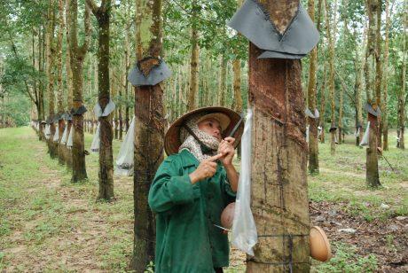Công nhân Cao su Kon Tum trên vườn cây khai thác. Ảnh: Văn Vĩnh