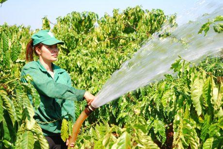 CN Cao su Chư Prông chăm sóc cà phê mùa nghỉ cạo.