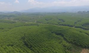 Vườn cây Công ty CPCS Sa Thầy. Ảnh: Nguyễn Cường.