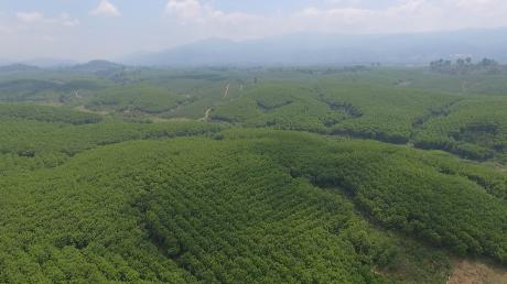 Vườn cây cao su Công ty CPCS Sa Thầy.