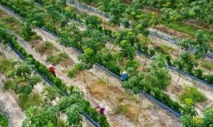 """Tác phẩm """"Thu hoạch trên vườn cây xen canh"""" của tác giả Bùi Việt Hưng đạt giải Nhất cuộc thi."""