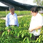 Các công ty cao su tại Campuchia: trồng mới trên 9.500 ha năm 2014
