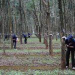 Nông trường Thanh Bình: quyết tâm giữ vững năng suất trên 2 tấn