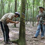 Chăm sóc cây cao su thời giá bán mủ thấp