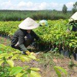 Trồng thí điểm 200 ha cao su tại huyện Tây Trà (tỉnh Quảng Ngãi)