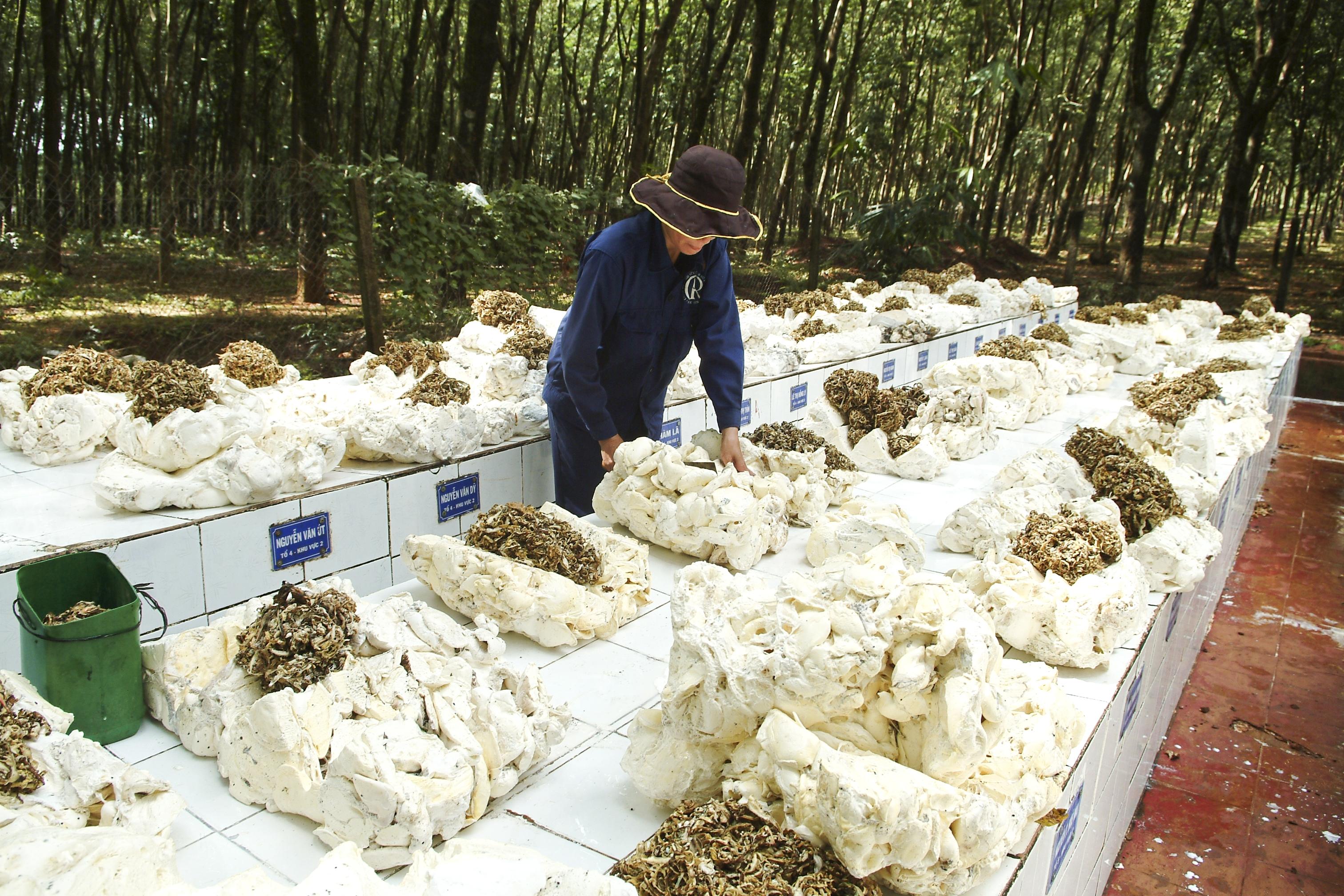 Giải pháp đảm bảo năng suất, sản lượng cao và bền vững tại Cao su Phú Riềng