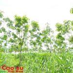 Trồng thử nghiệm hơn 100 ha  cao su tại Tây Trà (Quảng Ngãi)