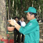 Cao su Tây Ninh dẫn đầu tiến độ sản lượng