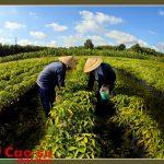 Tình yêu nông trường