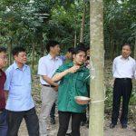 Cao su Sơn La tập huấn khai thác mủ