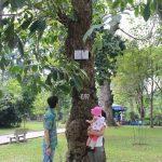 Độc đáo vườn cây cao su giữa lòng Sài Gòn