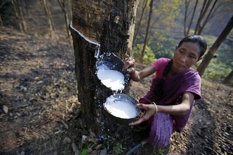 Thu hoạch mù cao su tại Ấn Độ