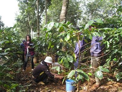 Cà phê trồng  xen cao su tại Công ty TNHH MTV Cao su  Krông Buk.  Ảnh: Văn Vĩnh