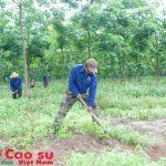 Dự án trồng cao su ở Campuchia có ý nghĩa lớn