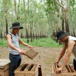 Thu nhập hàng trăm triệu từ nuôi ong trong vườn cao su