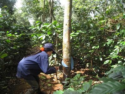 Công nhân khai thác cao su trong vườn cao su trồng xen canh cà phê tại Công ty TNHH MTV CS Krông Buk