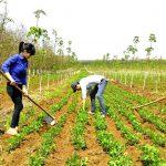 Kinh nghiệm trồng xen hoa màu tại Cao su Quảng Trị