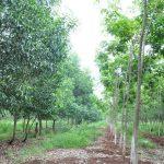 Ban hành quy định quản lý trồng xen trên đất cao su
