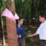 Cao su Kon Tum: Hiệu quả cao từ phương án khoán mới