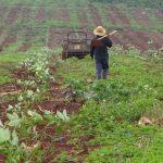 Cao su Krông Buk: Trồng xen cà phê hơn 400 ha cao su