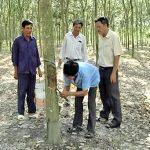 Đồng Nai: Nguy cơ xóa sổ vườn cao su tiểu điền