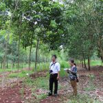 Trồng xen cây lâm nghiệp trên vườn cao su tái canh 2015