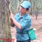 Cao su Bình Long: Hết tháng 8 khai thác đạt 53,77%