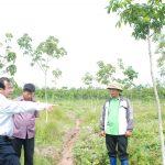 Giải pháp cứu cánh cây cao su trên đất rừng khộp