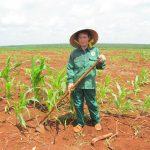 Cao su Bình Long: Xen canh cây ngắn ngày giúp tăng thu nhập