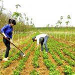 Đẩy mạnh diện tích trồng xen canh