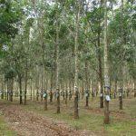 Hàng loạt doanh nghiệp sai cam kết trong việc trồng cao su và bảo vệ rừng tại Đăk Lăk