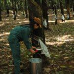 Không bón phân vườn cây khai thác
