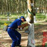 Cao su Mang Yang tái canh 1.000 ha cao su năm 2016