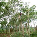 Chặt cao su trồng tiêu: Nông dân lại đánh bạc