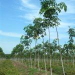 Phương pháp tạo tán vườn cây KTCB tại Công ty CPCS Tây Ninh