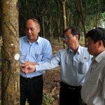 Cao su Phước Hòa: Tiếp tục giữ vững năng suất trên 2 tấn/ha