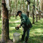 Nông trường Ya Chim (Cao su Kon Tum) phấn đấu giữ vững năng suất 2,3 tấn/ha