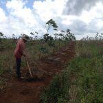 Cây lúa cạn trên đất tái canh