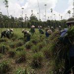 Trồng cây sả trên đất cao su: Hướng đi mới, hiệu quả kinh tế cao