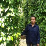 Công nhân cao su Quảng Trị nâng cao thu nhập từ trồng tiêu