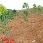 Em trồng cây cao su