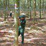 Ban hành Quy chế tổ chức kiểm tra kỹ thuật thu hoạch mủ