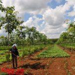 Miễn tiền thuê đất trồng cao su tái canh