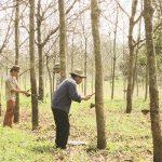 Người trồng cao su nỗ lực giữ vườn cây