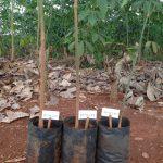 Giải pháp ứng dụng ghép sớm tăng hiệu quả sản xuất cây giống cao su